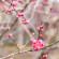 日本京都~北野天满宫,早春的梅花