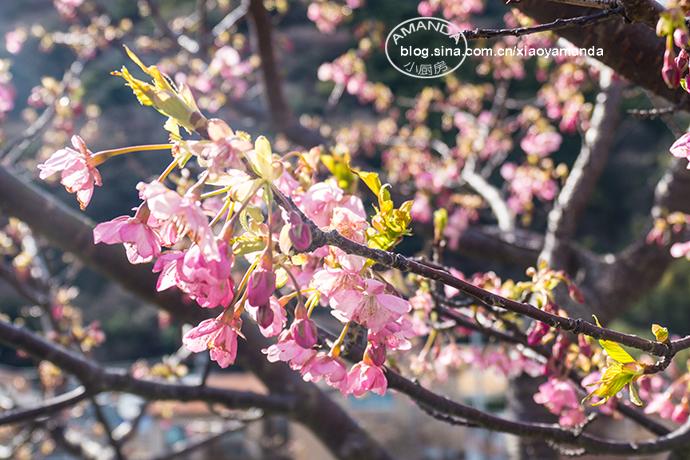 日本河津——藏在山中的密汤温泉,冬春的早樱,奔涌的伊豆海