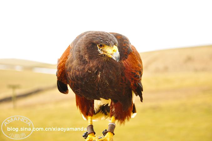 约克郡山谷国家公园游记(一)——体验训鹰